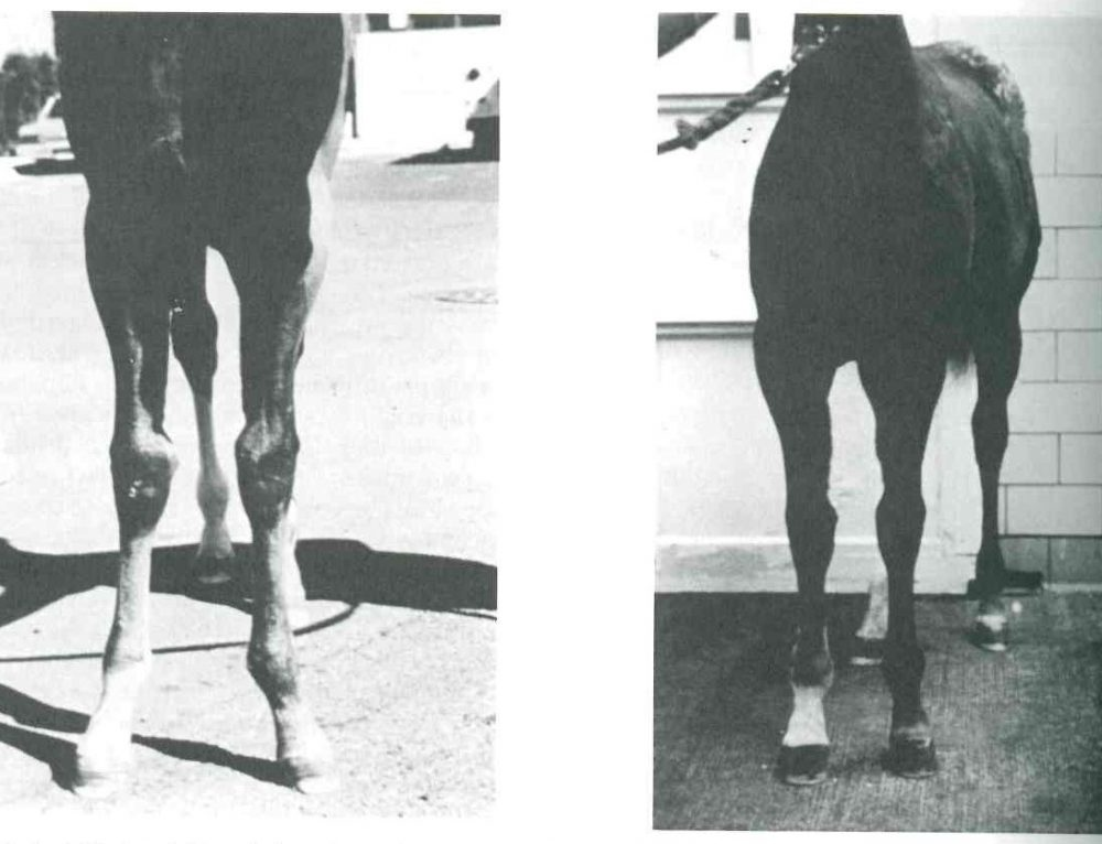 Equine Reproduction: Foal Conformation